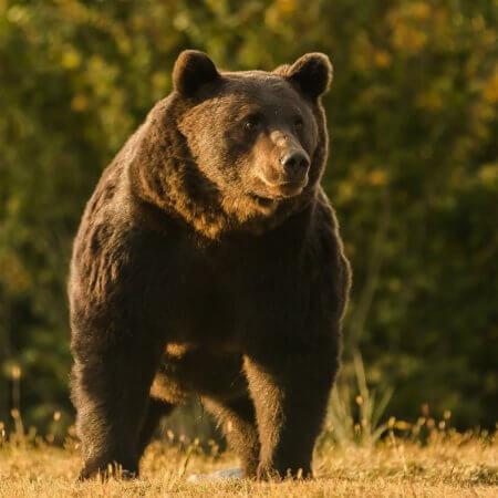 медведь Артур, принц Лихтенштейн